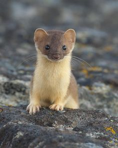 Cute Little Weasel - So Curious :)