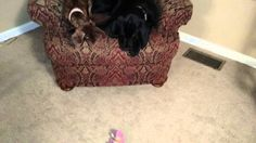 Georgia Louise the mini dachshund and Angus the black lab were fighting over a stuffed toy. When it dropped to the floor, Angus quickly grabbed it causing Ge...
