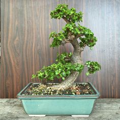 Portulacaria Afra bonsai Jade Bonsai, Succulent Bonsai, Succulents Garden, Bonsai Tree Care, Bonsai Art, Bonsai Plants, Garden Terrarium, Bonsai Garden, Cactus