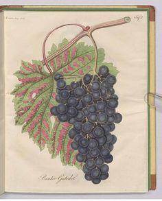 241624 Vitis vinifera L. / Fortsetzung des Allgemeinen teutschen Garten-Magazin oder gemeinnützige Beiträge für alle Theile des praktischen Gartenwesens [J.F. Bertuch], vol. 7: t. 5 (1823)
