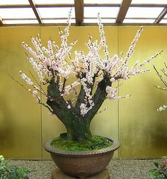 bonsai (ume)