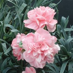 Dianthus 'Duchess of Westminster' (Dianthus hybrid) - Rare & Unusual Plants