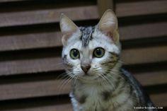みんなのベンガル子猫ブリーダー|ベンガル 女の子 シルバー・スポテッド・タビー 2016/08/09生まれ 大阪府 子猫ID:1611-00280