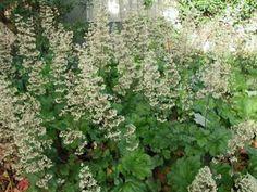Plant photo of: Heuchera maxima  Front Yard
