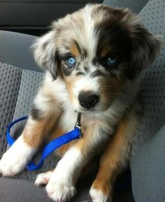 Funny pictures about If You Cross A Husky And A Golden Retriever. Oh, and cool pics about If You Cross A Husky And A Golden Retriever. Also, If You Cross A Husky And A Golden Retriever photos. Golden Husky Mix, Golden Mix, Husky Mix Golden Retriever, Retriever Puppy, Golden Retriever Cross, Cute Puppies, Dogs And Puppies, Doggies, Aussie Puppies