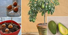 Stop buying avocados, because there is a simple method of growing an avocado tree in a small pot at home.Therefore grow an avocado tree at home, so you will save your health and your money at the same time .