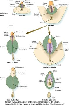 External development of male and female genitalia