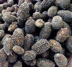 Remedio natural para diabetes crece en México: El fruto del guásima.