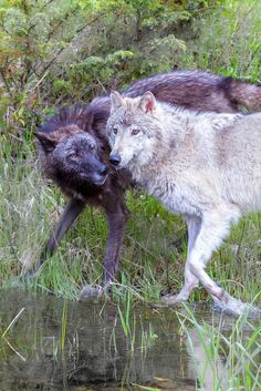 Wolves - by Mark Wells https://www.flickr.com/photos/markwells/9180558826/