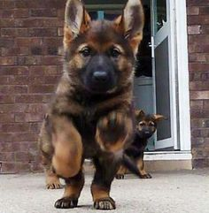 Wicked Training Your German Shepherd Dog Ideas. Mind Blowing Training Your German Shepherd Dog Ideas. Sable German Shepherd, German Shepherd Puppies, German Shepherds, Black Shepherd, Cute Puppies, Cute Dogs, Dogs And Puppies, Funny Dogs, Baby Animals