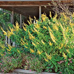 Growing sage - love the yellow - http://www.southernliving.com/home-garden/gardens/tips-for-growing-sages-00417000084773/