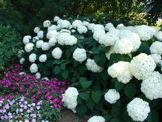 Hydrangeas in the Arboretum at Lexington, #Kentucky #garden