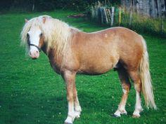 Kerry Bog Pony stallion Mossfield Fox