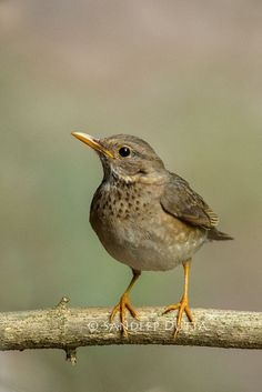 Tickell's Thrush  by SandyDutta