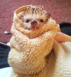 An evil, half-vampire hedgehog warming up after a long night of terrorizing the living: