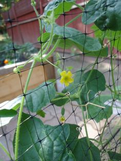 Growing Cucamelons from Seed