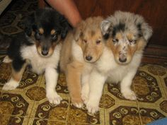 Rough Collie puppies - Tri-Colour, Sable and Blue Merle.