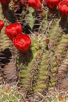 Echinocereus arizonicus, USA, Arizona, Gila / Pinal Co. More Pictures at: http://www.echinocereus.de