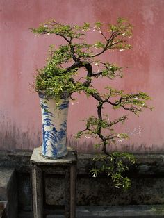 Bonsai is a Japanese art form of stylistically growing and pruning miniature trees in containers.