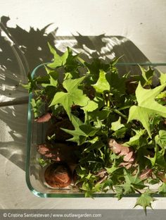 Sweet potato slips in a glass dish - easy to grow from old sweet potato tubers.
