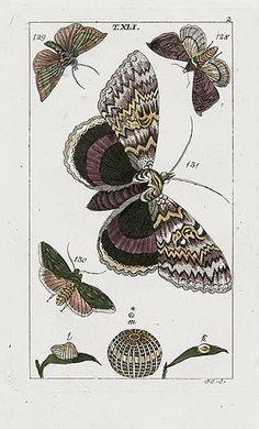 Gottlieb Tobias Wilhelm Butterfly Copper Engravings 1810