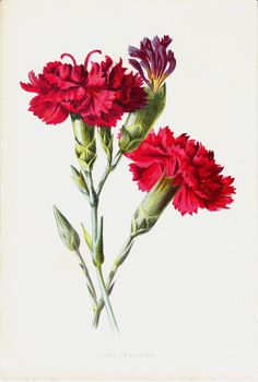 1887 Antique FLOWER print, color lithograph of a intense pink CLOVE CARNATION, original antique botanical print of garden flowers
