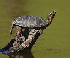 Western pond turtle or Pacific pond turtle is a small to medium-sized turtle growing to approximately 20 cm (8 in) in carapace length. It is limited to the west coast of the United States of America and Mexico.