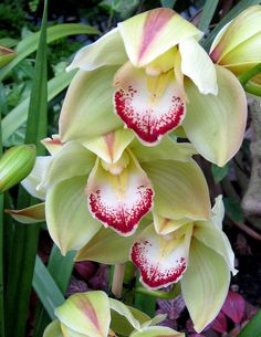 Cymbidium Orchid Smoke King 'Geyserland'