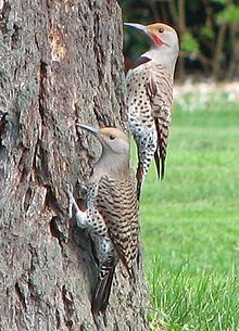 The Red-shafted Flicker (Colaptes auratus cafer) resides in western N.A. They are red under the tail & underwings w red shafts on their primaries. They have a beige cap & a grey face. Males have a red moustache.  Although they eat fruits, berries, seeds & nuts, their primary food is insects.