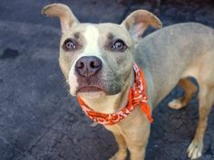 my name is BLU. My Animal ID # is A0982358. I am a female br brindle and white pit bull mix. The shelter thinks I am about 6 MONTHS old.