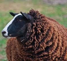 Ik ben het zwarte schaap - I'm the black sheep Barnyard Animals, Cute Animals, Wild Animals, Baa Baa Black Sheep, Sheep And Lamb, Counting Sheep, Goat Farming, Alpacas, Exotic Pets