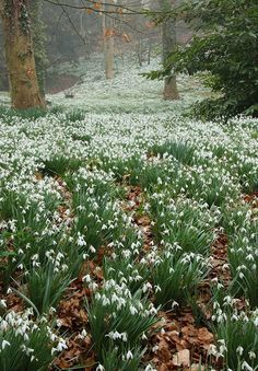Photo: Woodland with Snowdrops. Colesbourne Park, Gloucestershire, England.