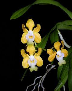 Syms Vanda Orchid