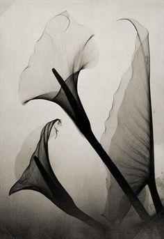 Calla Lily X-Ray by Thomas W. Louyle, 1930