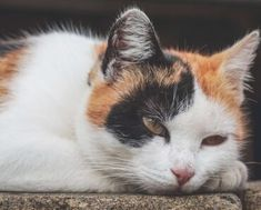 protectyourcat | الصفحة 3 من 3 | All about cats and more! Tortoise As Pets, Tortoise Shell, Cat Diseases, Cat Colors, All About Cats, Cat Health, Find Pets, Cat Day, Animals And Pets