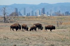 Rocky Mountain Arsenal National Wildlife Refuge. (Located in Commerce City, CO.) Free admission. One of the largest animal refuges in the USA. Winter Weather Advisory, Commerce City, Weekend Weather, Maple Valley, National Weather, Denver Post, Rocky Mountains, Arsenal, Bald Eagle