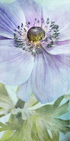 'Anemone' von Priska Wettstein bei artflakes.com als Poster oder Kunstdruck $18.03
