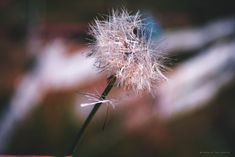 Te desarmas en silencio 💔🍃 Instagram #dandelion #details #chile #naturaleza #canon #fotógrafas