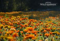 Oregon's Wild Harvest Organic Calendula (Calendula officinalis) fields 2014 #oregon #organicherbs #nongmo #biodynamic #calendula