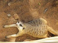 Meerkat at Zebula, May 2014 Golf Estate, Spa, Animals, Animales, Animaux, Animal Memes, Animal, Animais, Dieren