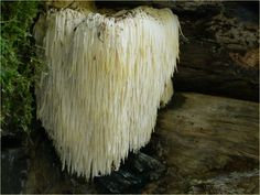 Hericium erinaceus. This strange mushroom goes by many names, including lion's mane mushroom, bearded tooth mushroom, hedgehog mushroom, and satyr's beard, among many others. Native to North America, it can be found growing on hardwood trees. Despite its strange looks, it is indeed edible and is sometimes served as an alternative to pork or lamb in Chinese cuisine. The mushroom is common during late summer and fall on hardwood trees.