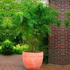 Fargesia rufa - Compact Clumping Umbrella or Fountain Bamboo - Bamboos and Bamboo Plants - Garden Plants Bamboo Hedge, Bamboo Plants, Garden Plants, Potted Bamboo, Bamboo In Planters, Bamboo Containers, Back Gardens, Small Gardens, Landscaping