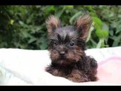 Facebook写真動画ヨークシャーテリア子犬情報   6/24生まれ女の子~I22