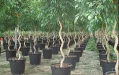 Why does a Ficus tree lose leaves all of a sudden? Ficus drop leaves usually for 3 possible reasons: change in environment. Fig Varieties, Ficus Tree, Houseplants, Things To Come, Leaves, Beautiful, Trees, Shopping, Ficus