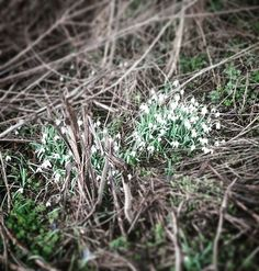 V Holandsku a Belgii je už  zelená tráva a políčka, naučené stromy a dokonce kvetou i sněženky! A my se radujeme 🍀🍀🍀 Snowdrops! Belgium and Holland is full of #spring #green #snezenky #jaroseblizi #jaro2017 #kyticky #kvetou #jarojetu #priroda #kvety #spring #springiscoming