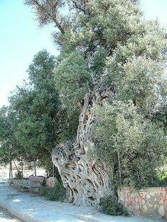 La Olivera Grossa: Olivo milenario de Villajoyosa (Alicante)