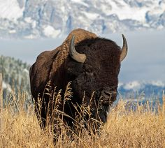 Facts, Artwork, and Information about the American Bison.