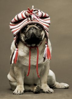 Pug in knit hat. Love the hat on the pug Cute Pugs, Cute Puppies, Funny Pugs, Pug Love, I Love Dogs, Raza Pug, Amor Pug, Funny Animals, Cute Animals
