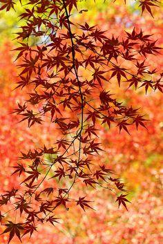 Nature, momiji, Japan