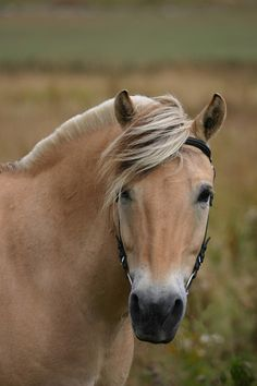 Norwegian Fjord Horse. The Fjord horse or Norwegian Fjord Horse is a relatively small but very strong horse breed from the mountainous regions of Western Norway. It is an agile breed of light draft horse build.